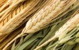 Jakie będą ceny zbóż w 2017 r.? Ceny aktualne a prognozy