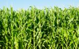 ceny kukurydzy w 2017