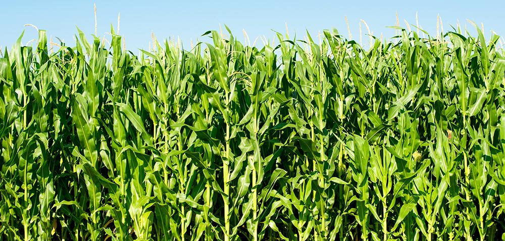Czy opłaci się siać kukurydzę, czyli jakie będą ceny kukurydzy w2017?