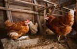 ptasia grypa a produkcja drobiu