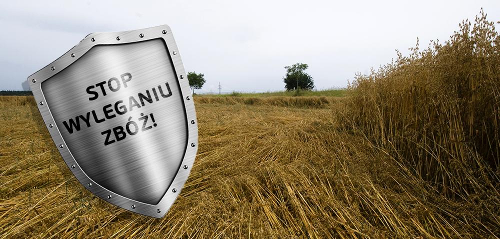 Skracanie zbóż idokrzewianie pszenicy
