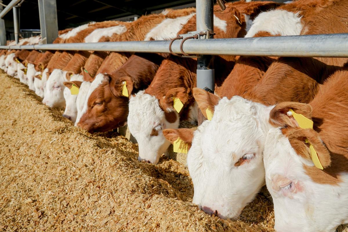 ceny pasz dla bydła