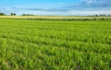 Zapotrzebowanie zbóż na siarkę