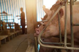 kojce dla świń