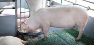 Świnia ma jednokomorowy żołądek