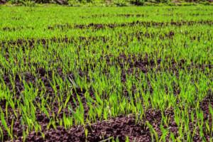 jak na ceny zbóż wpłynie wielkość zasiewów wStanach Zjednoczonych