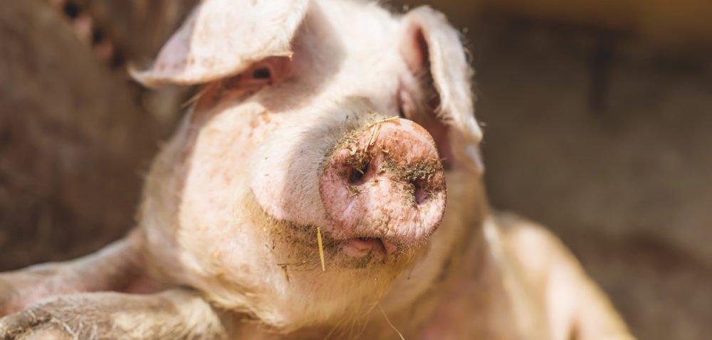 Jak preparaty drożdżowe wpływają na wyniki produkcyjne świń?