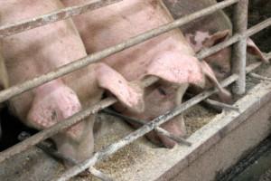 świnie przy korycie