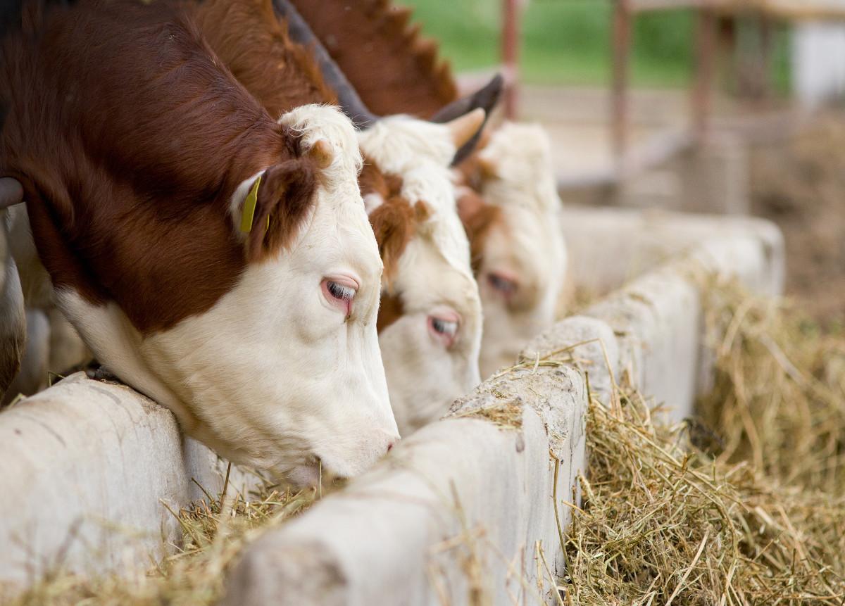 pasza dla bydła mięsnego