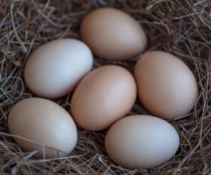 jaja na ściółce