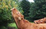 zatrucie pokarmowe u bydła