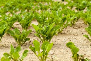 liście buraków cukrowych