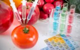 pomidor modyfikowany genetycznie