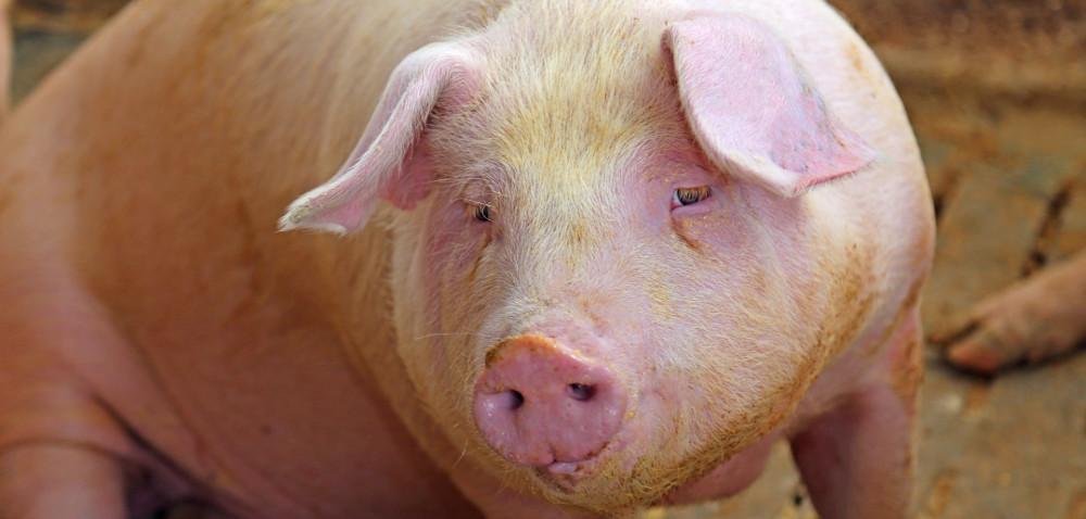 Nadzwyczajne wsparcie rynku wieprzowiny!