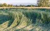 Skracanie łanu zbóż bez względu na pogodę!