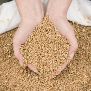 ziarna pszenicy wpaszy dla niosek