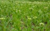 Łubin w systemie rolnictwa ekologicznego a chwasty