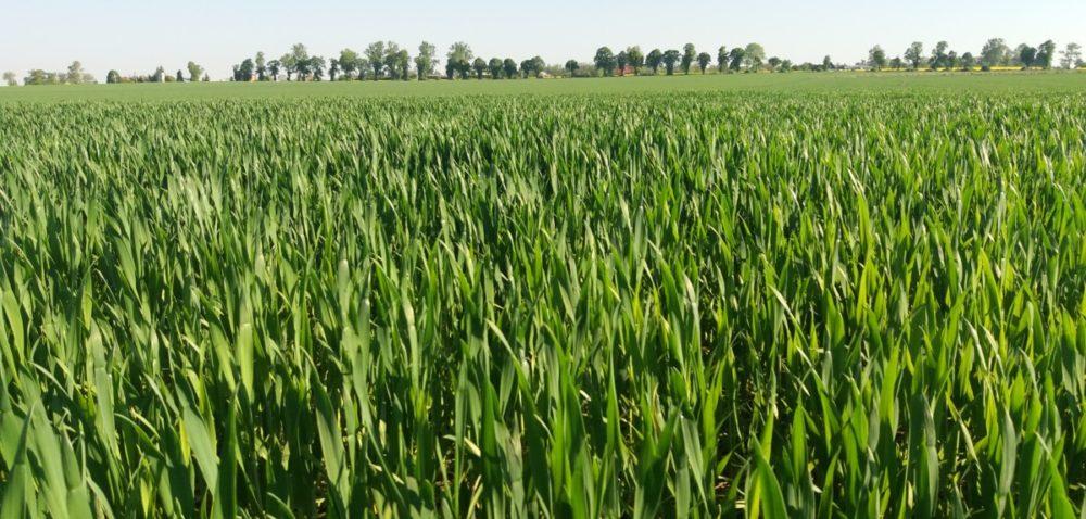 Dokarmianie zbóż wT2- witaminy dla zboża