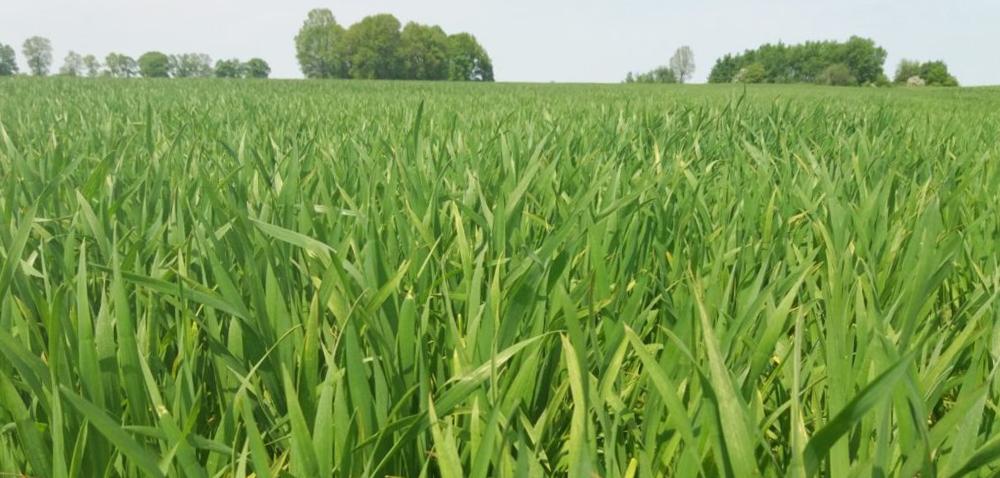 Wiosenna ochrona zbóż  – jak zrobić to ekonomicznie?