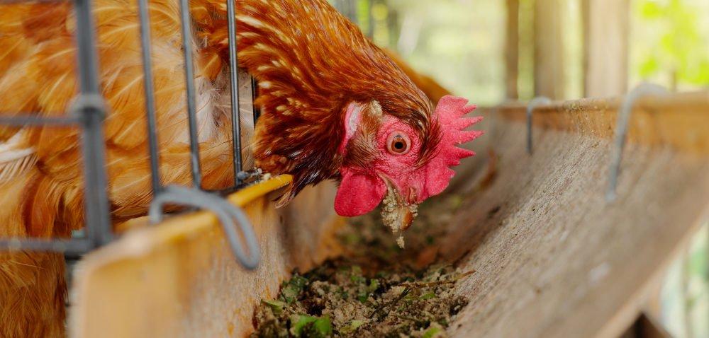 Eksport drobiu rośnie wobliczu ptasiej grypy