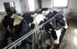 Hodowcy krów mlecznych liczą na wsparcie doradców