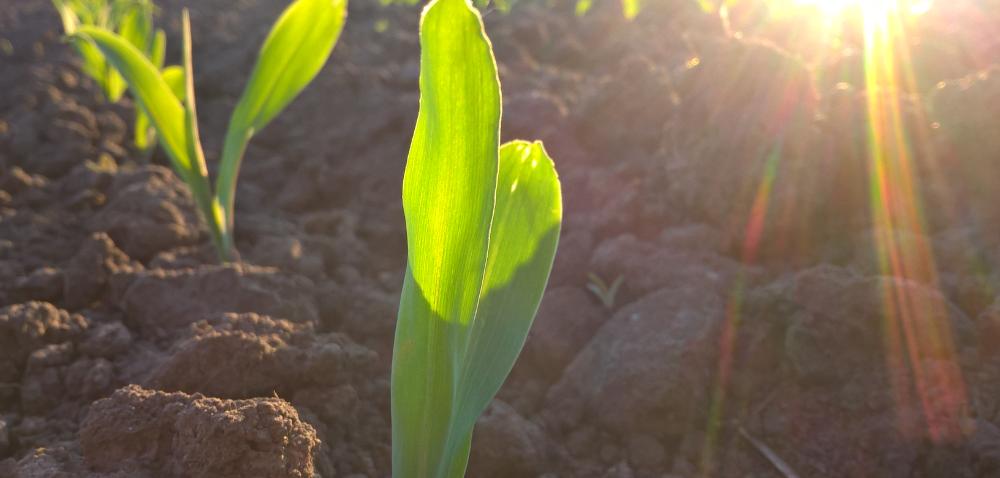 Kukurydza: nawożenie mikroelementami