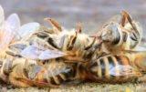 padłe pszczoły