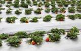 truskawki na plantacji