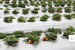 Oprysk truskawek wróżnych systemach plantacji
