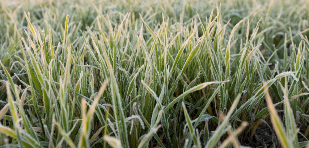 Idą zimni ogrodnicy izimna Zośka – jak zabezpieczyć rośliny przed mrozem?