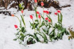 śnieg na tulipanach