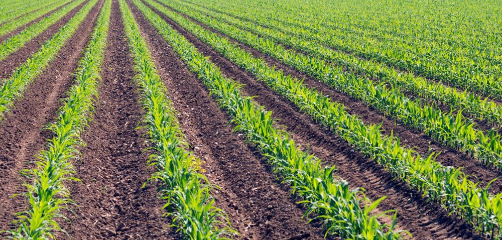 SY Welas – nowa kukurydza na kiszonkę