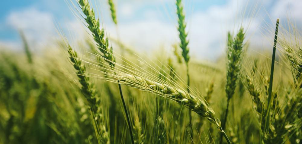 Na co zwrócić uwagę wybierając materiał siewny zbóż ozimych?