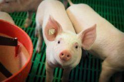 Hodowca musi znać układ pokarmowy świni