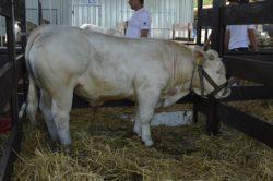 krowa Charolaise