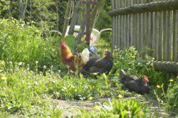 kura potrzebuje koguta
