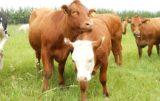 najlepsze rasy bydła mięsnego
