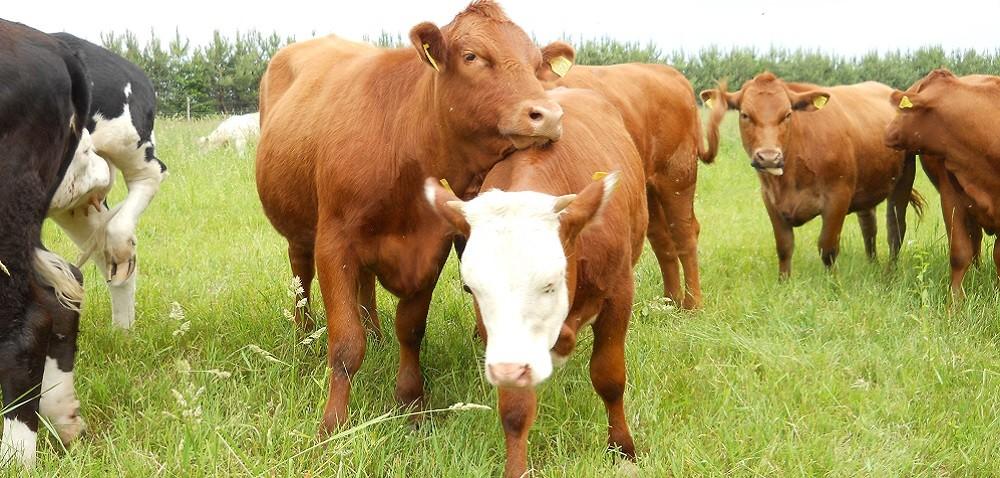 Jaka rasa bydła mięsnego jest najlepsza? Sprawdź, które warto hodować!