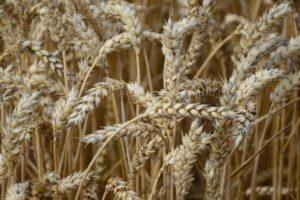 Światowe zbiory zbóż wgórę