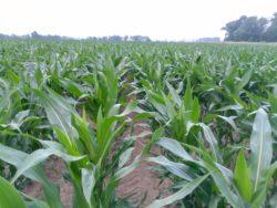 kukurydza zasiana pod koniec kwietnia