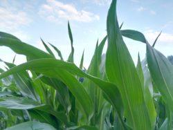 zdrowy liść kukurydza