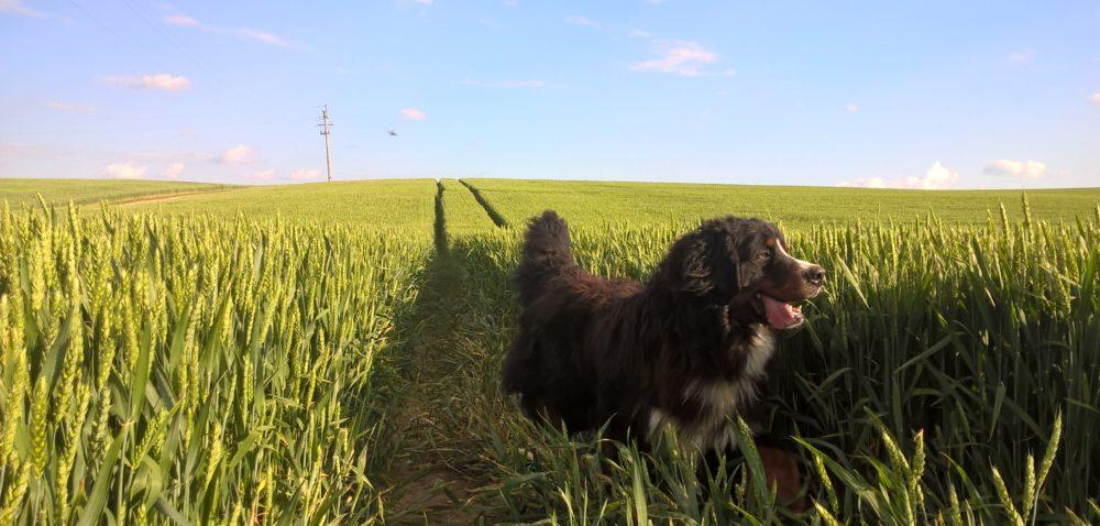 Pies jako inwentarz żywy podlega ubezpieczeniu jak inne zwierzęta!