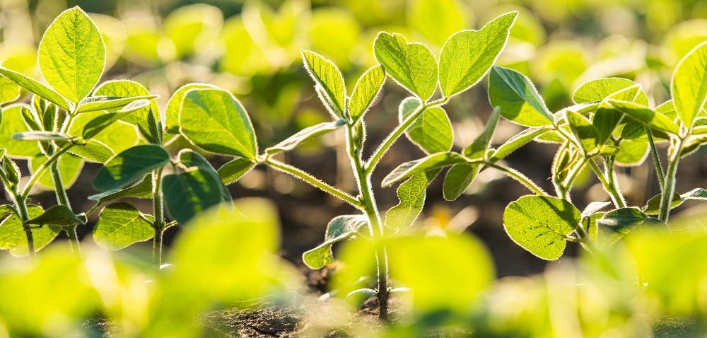 Nowe rośliny wpolskim płodozmianie