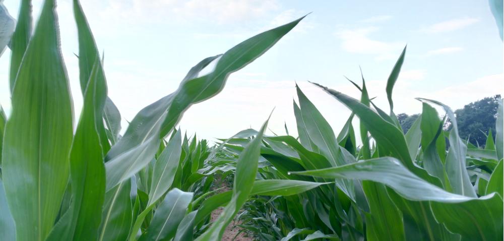 Stan kukurydzy na przełomie czerwca ilipca