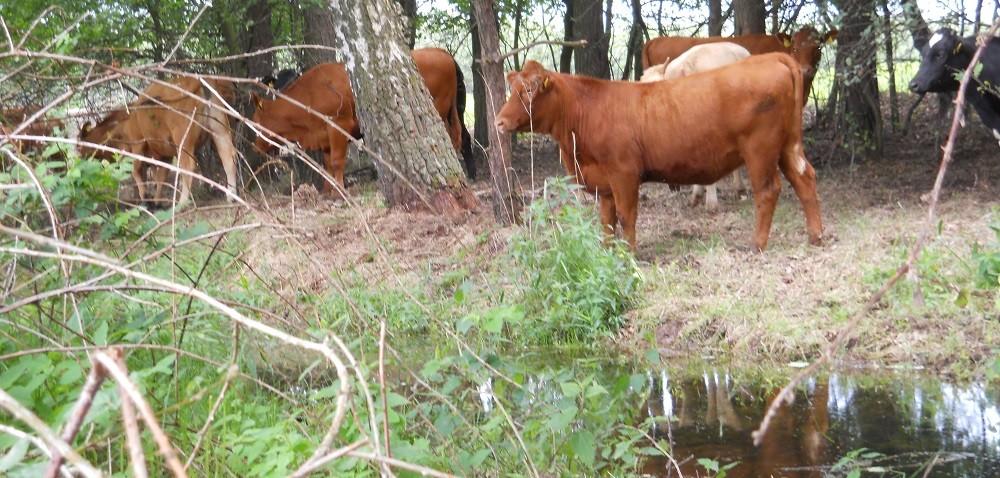 Choroba guzowatej skóry bydła! Nowe przypadki, tym razem wRosji