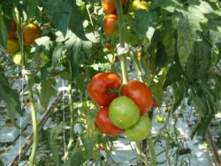 woda wnawadnianiu pomidorów szklarniowych