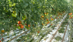 pomidory na krzakach wszklarni