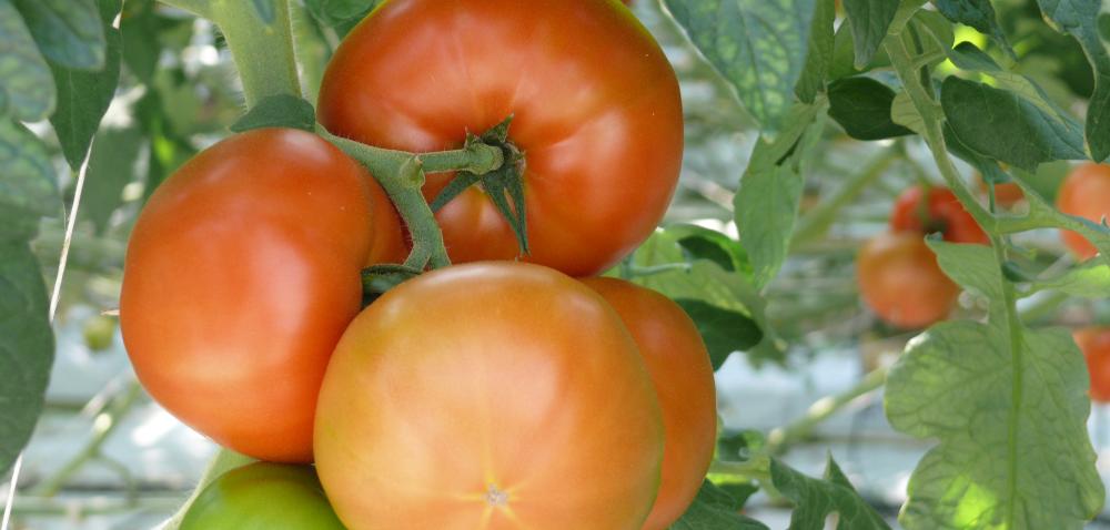 Nawadnianie pomidorów – źródło ich zdrowia