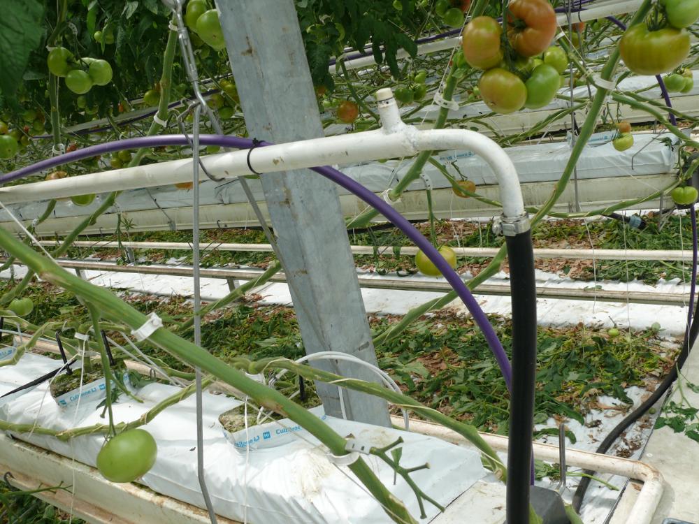 nawadnianie pomidorów