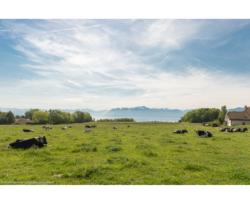 hodowla krów wAlpach